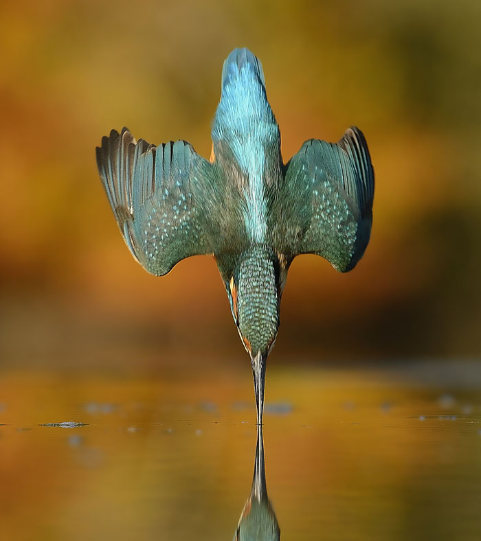 After 6 Years And 720,000 Attempts, Photographer Finally Takes Perfect Shot Of Kingfisher