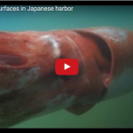 Giant squid surfaces in Japanese harbor