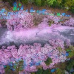 Magical Pics Of Japan's Cherry Blossom By National Geographic