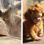 Baby Dressed Up As A Lion's Cub Meets A Real Lion, And The Big Cat Is Confused