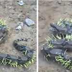 Snake Tries To Eat A Porcupine, Regrets It Immediately
